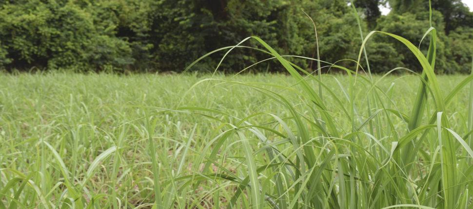 plantação de cana na natureza