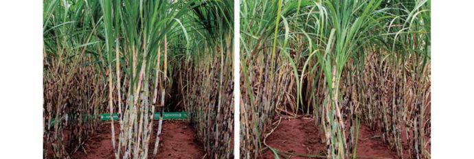 O principal é o aumento da interação da raiz com os microrganismos do solo, inclusive ativando uma quantidade maior de fósforo armazenada.
